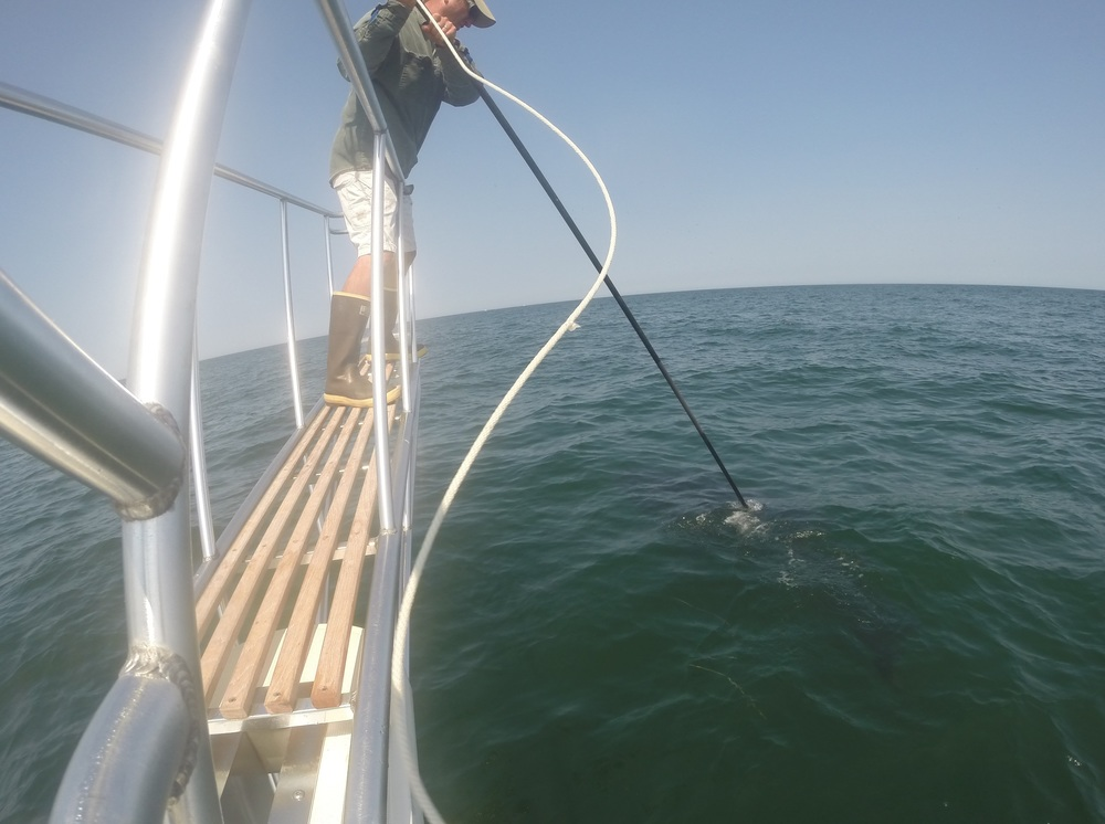 Dr. Greg Skomal tagged a white shark off the coast of Cape Cod.