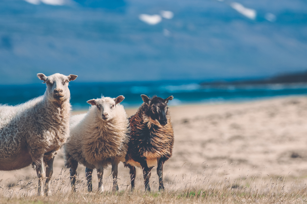 icelandic sheep 2.jpg