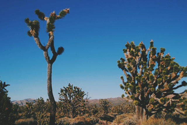 Joshua tree woodland