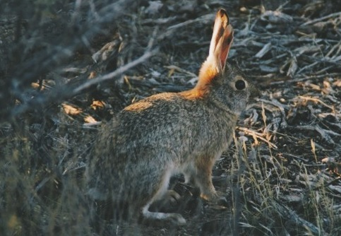 A desert cotton-tail along the Teutonia Peak trail