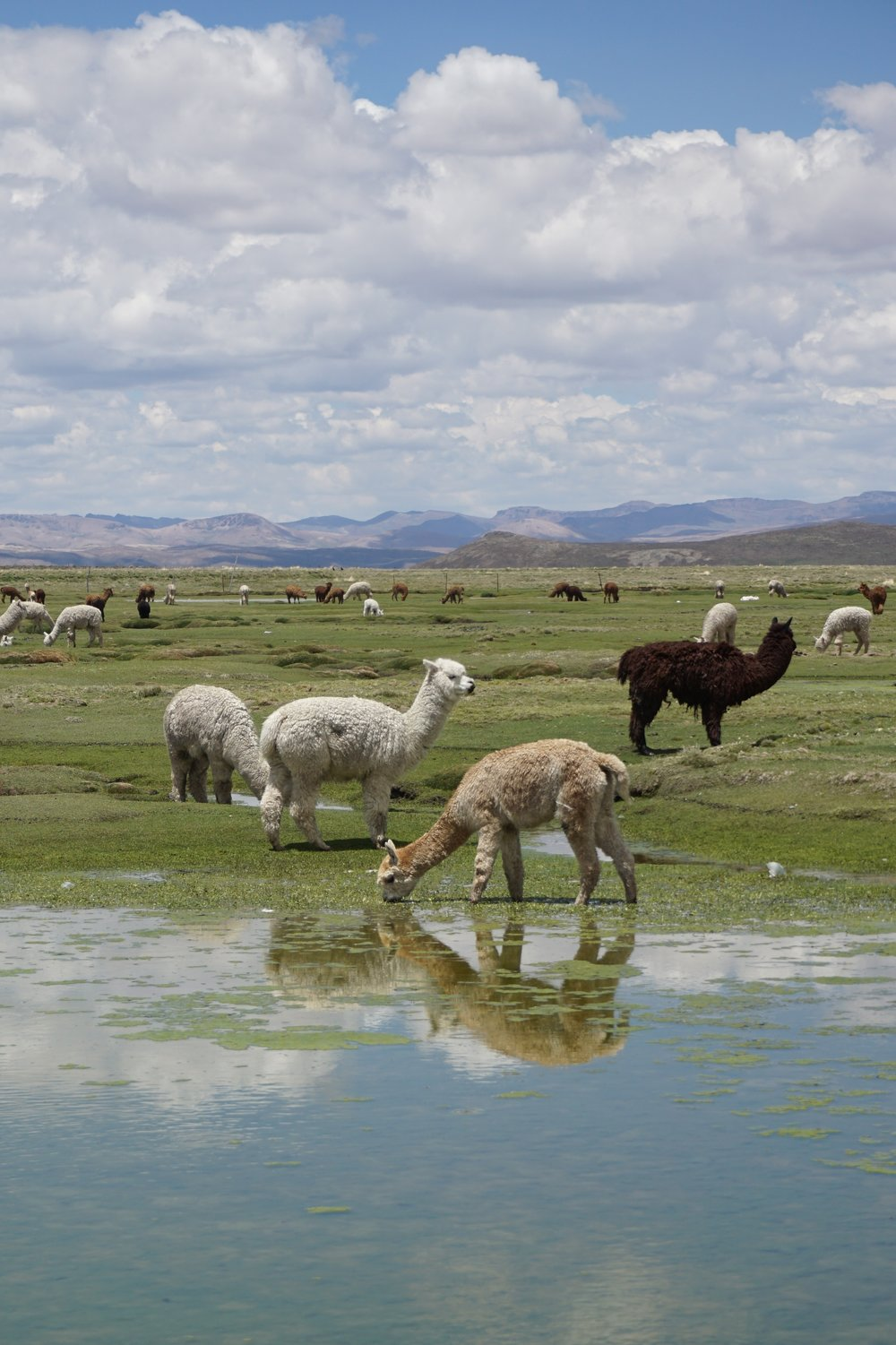 Native residents of the altiplano.
