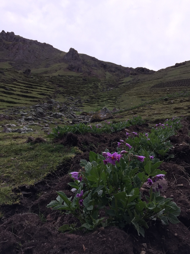 Potato crops planted in terraces in the steep slopes of the canyon.