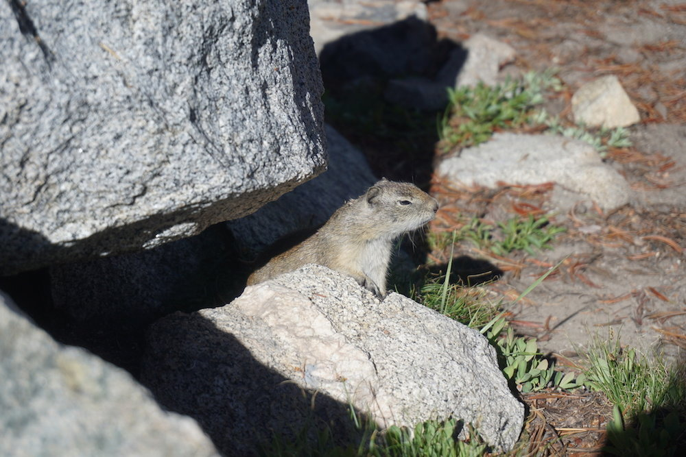 A Belding's ground squirrel focusing intently at our camp. He kept squinting as if to sharpen his sense of smell.