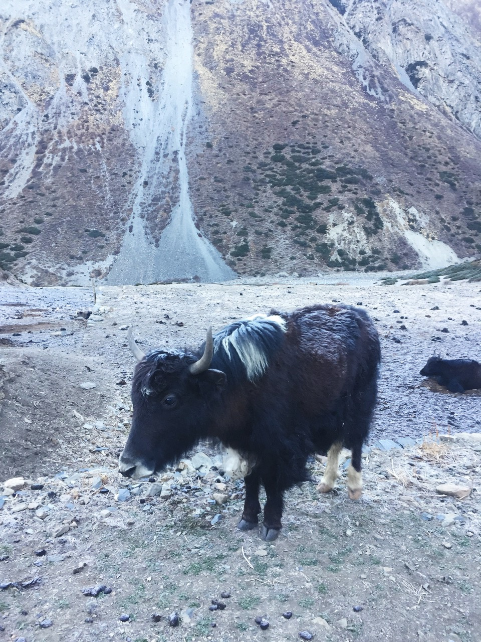 Yak with frosted fur