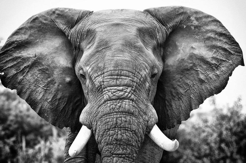 Elephant Bull.jpg