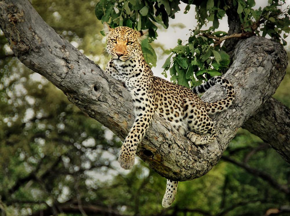 Leapord tree.JPG