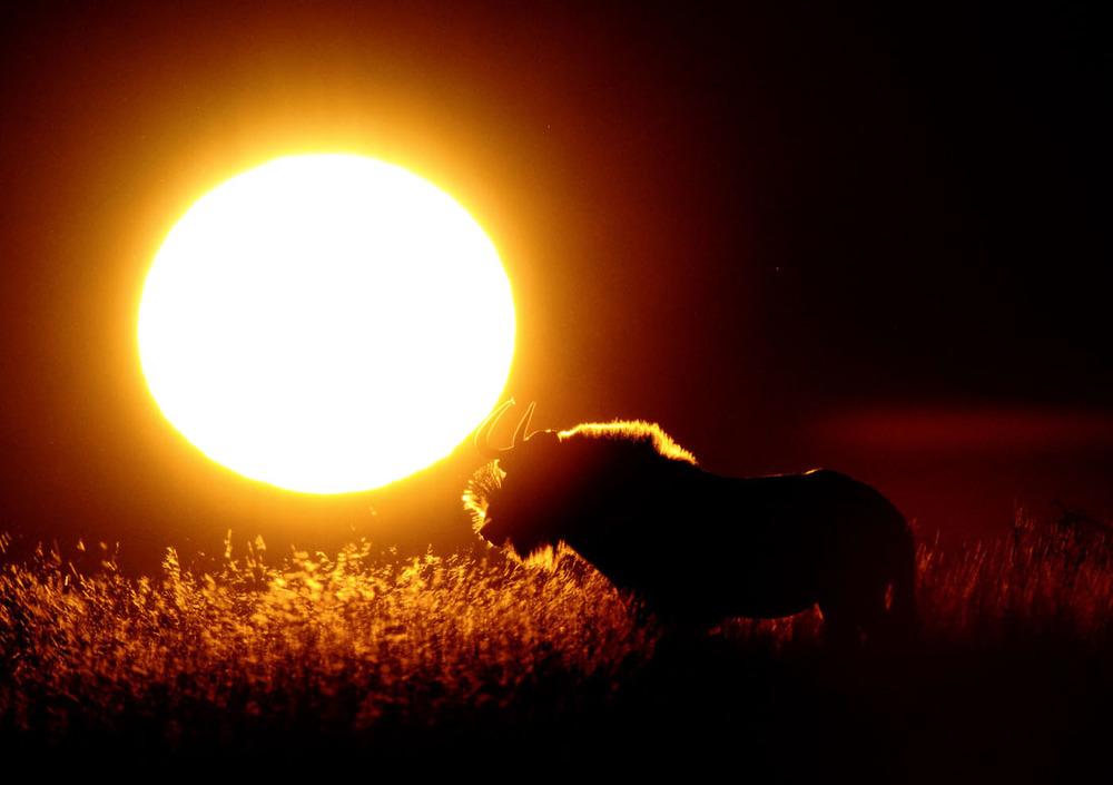 Wildebeest Sunrise.JPG