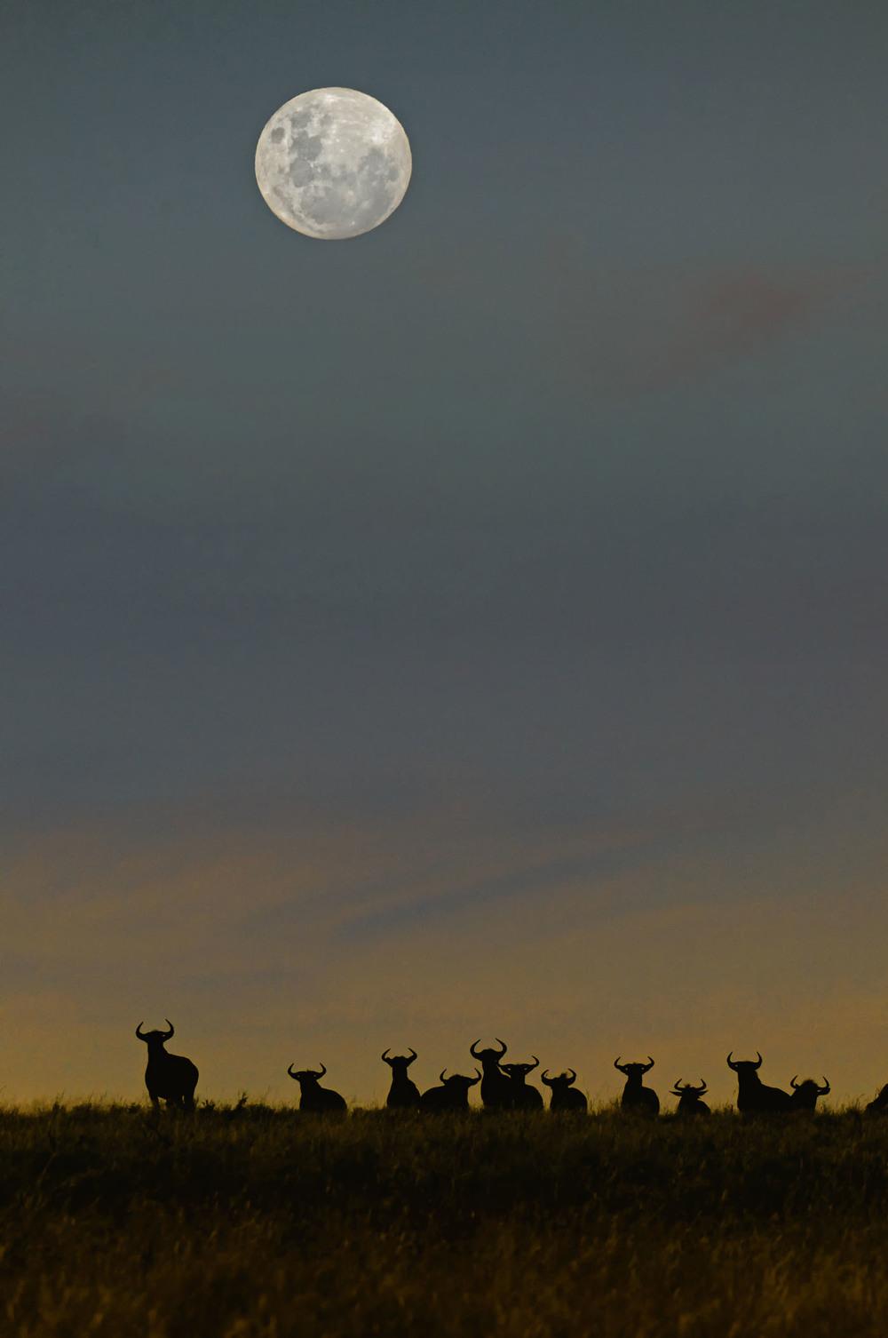 Wildebeest Moonrise.JPG