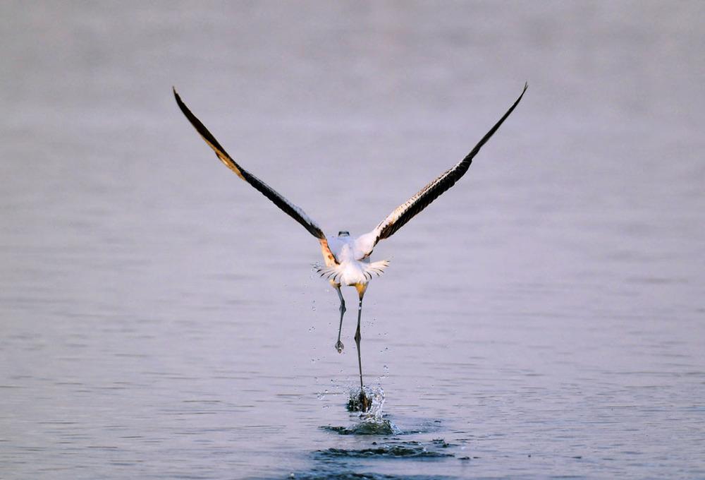 Flamingo Takeoff.jpg