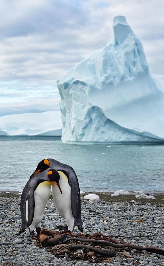 Penguin Courtship.jpg