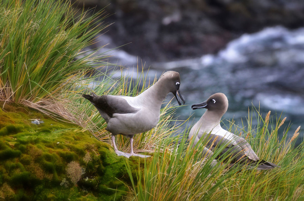 Albatross Courtship.jpg