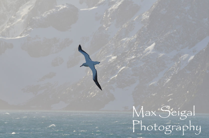 Wandering albatross - the largest flying bird in the world. Graceful even in the windiest conditions