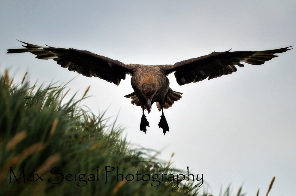 skua landing
