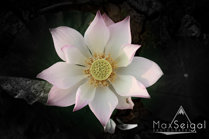 Beautiful lotus flower, taken in Kampong Tralach, Cambodia