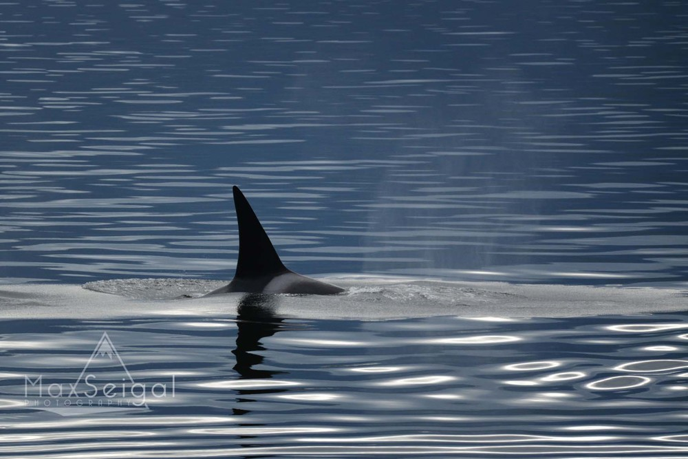 Orca with near perfect reflections on a calm day