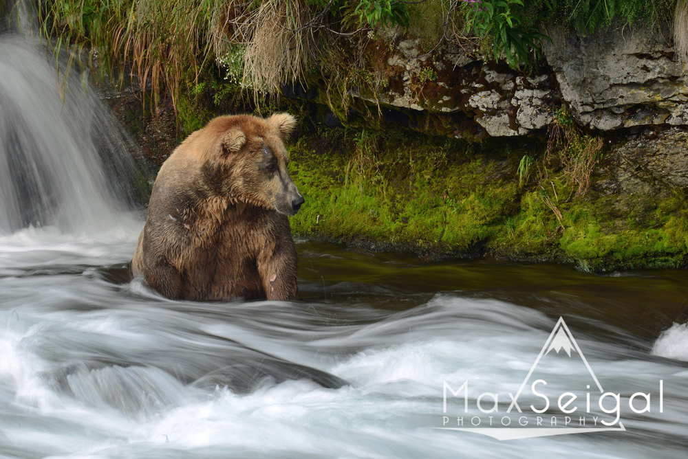 This bear was pretty funny... While other bears were running around catching all the salmon they possibly could, this guy would sit in one spot for the entire day, waiting for salmon to come to him.  He turned out to be pretty successful!