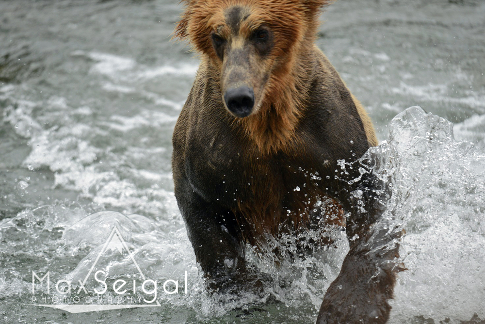 A bear charging at you full speed is a scary experience... not recommended!