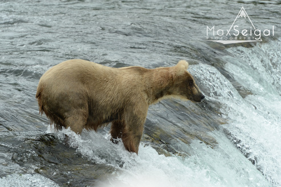 Bear fishing on top of the falls