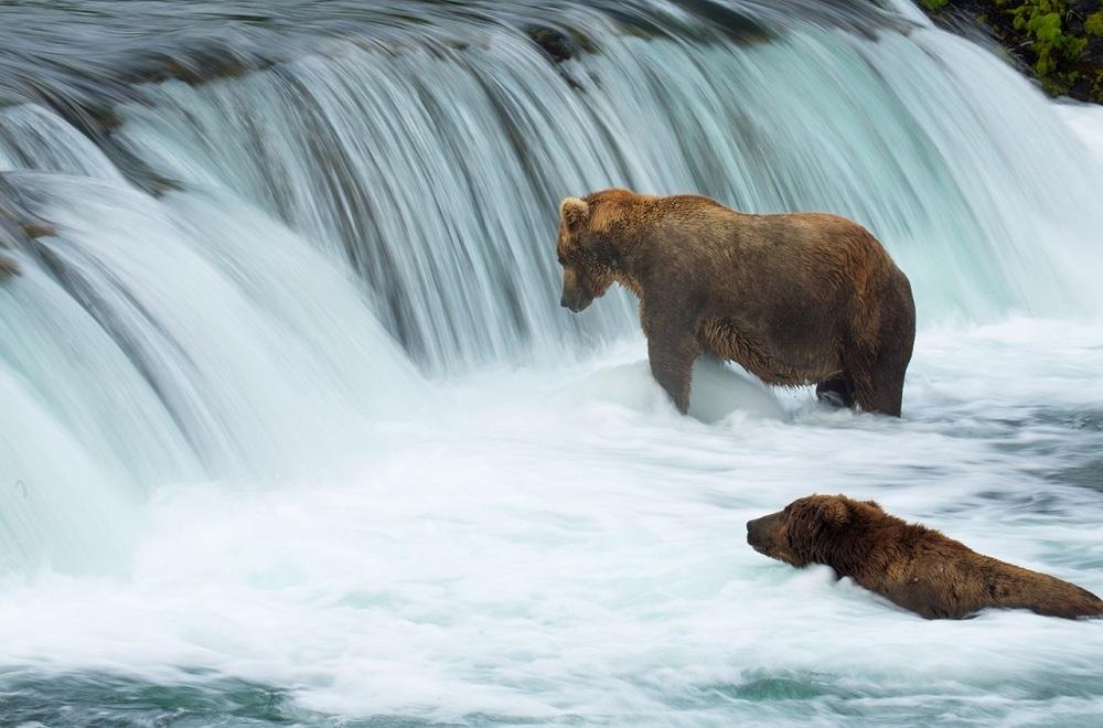 Fishing Bears.jpg