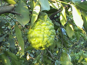 Bergamot : Bergamot has a distinctive spicy-floral quality.     The scent is both spicy and sweet.