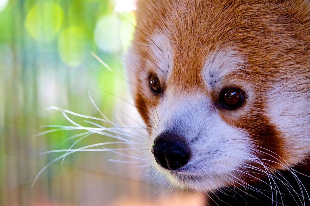 Red Panda - Pueblo, CO Zoo