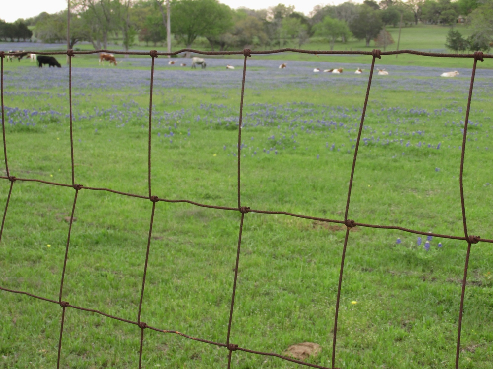 longhorns and bluebonnets.jpg