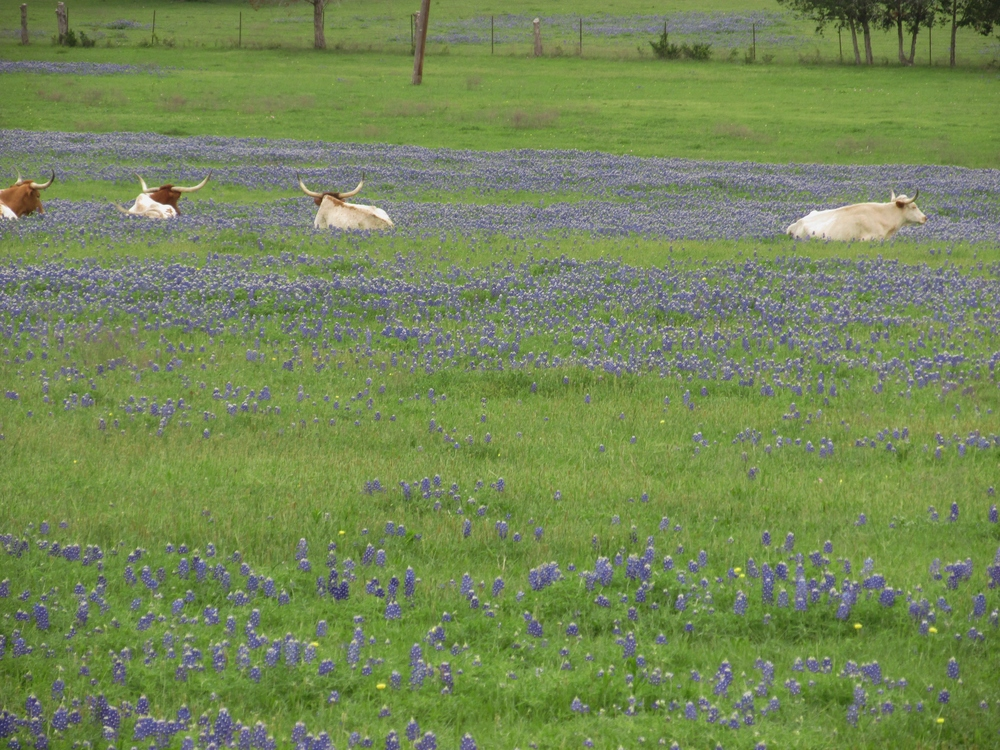 lounging longhorns.jpg