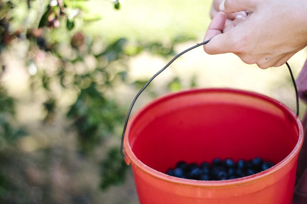 bucket of blueberries.jpg