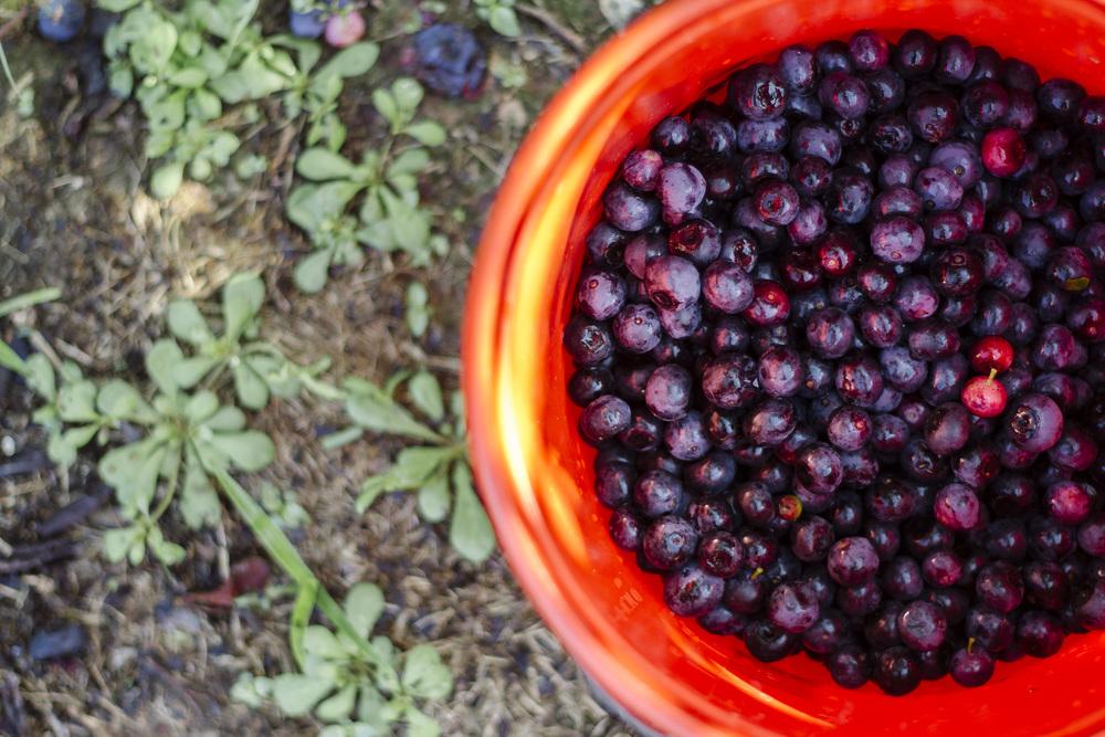blueberries in summer.jpg