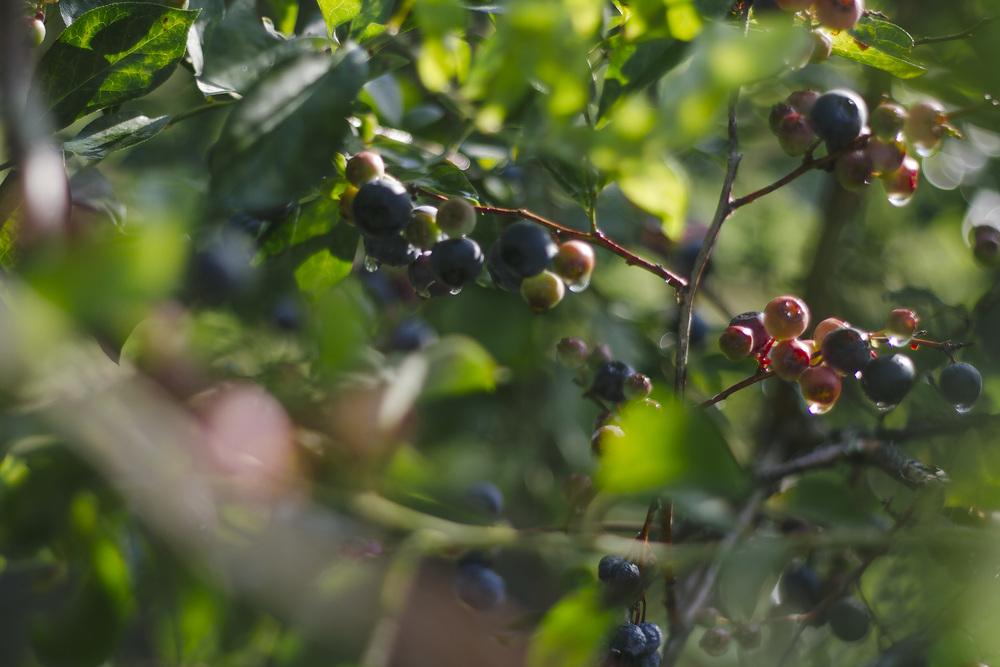 blueberrypicking2.jpg