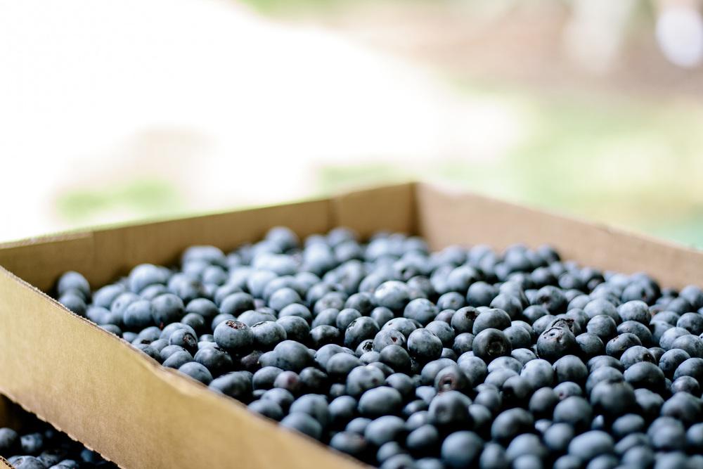 picked blueberries.jpg