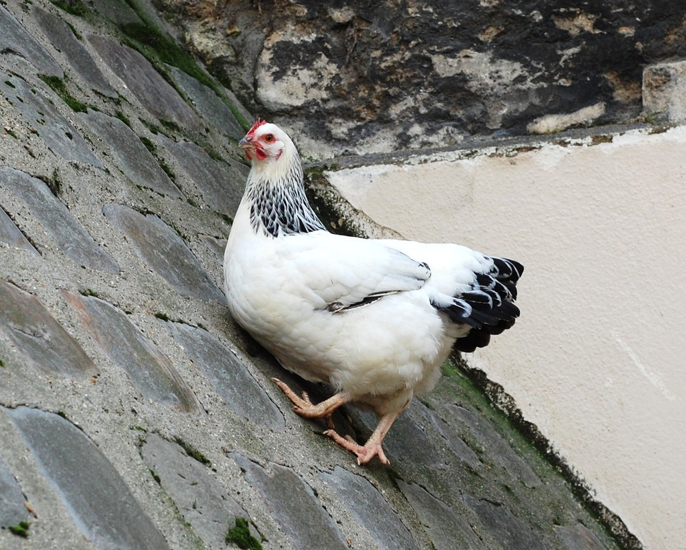 Free-roaming chickens in Montmartre
