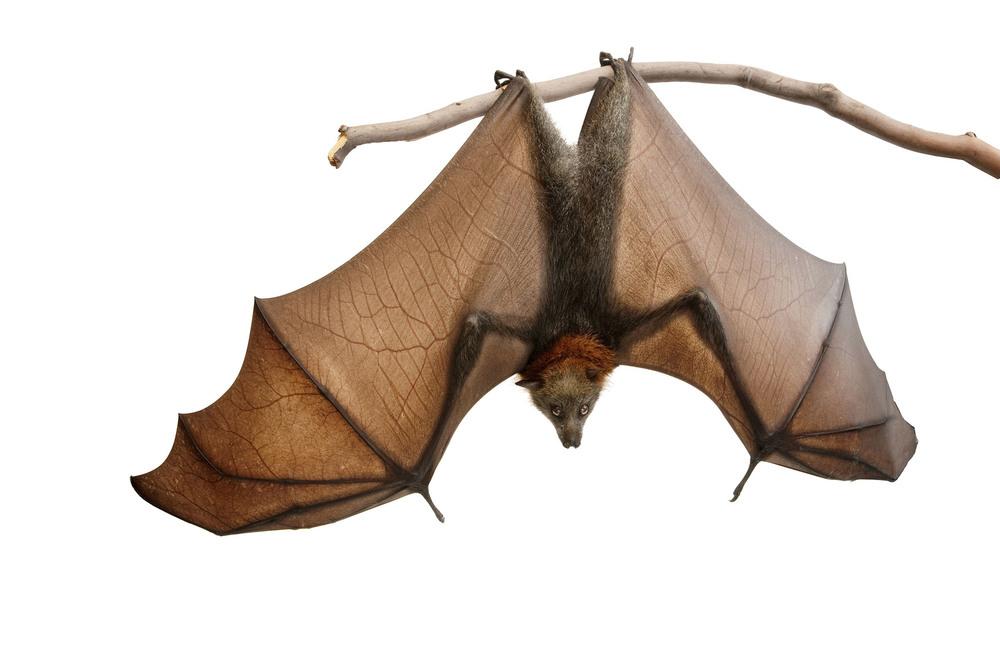 Bat_DSC0705.jpg