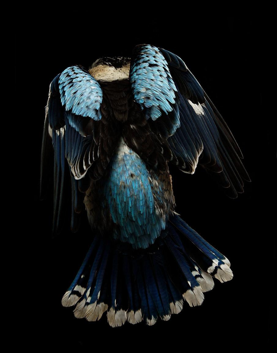 Kookaburra_Blue_116-print.jpg
