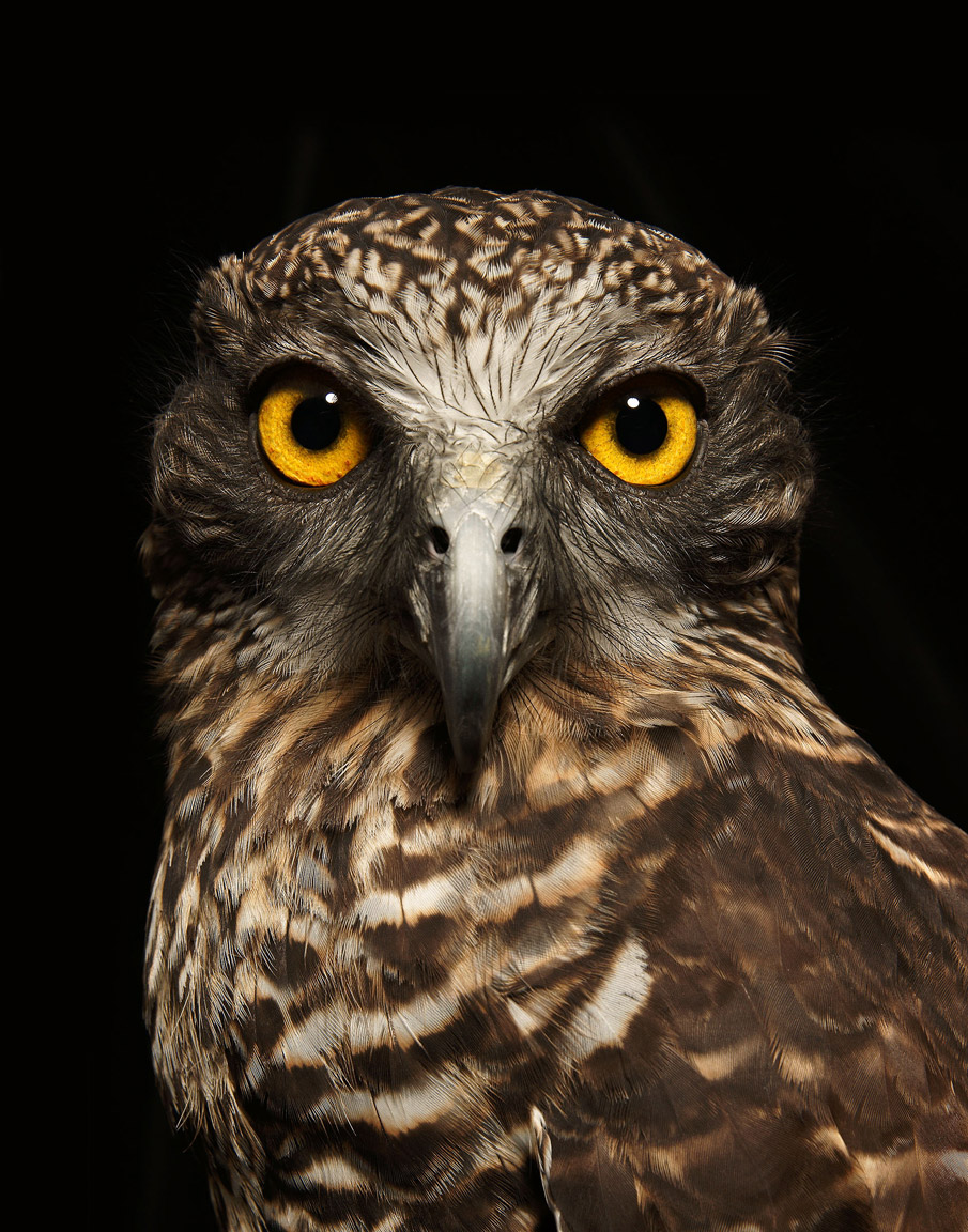Powerful-Owl-Print.jpg