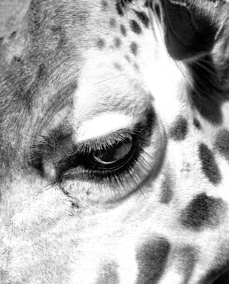 giraffes-eye.jpg