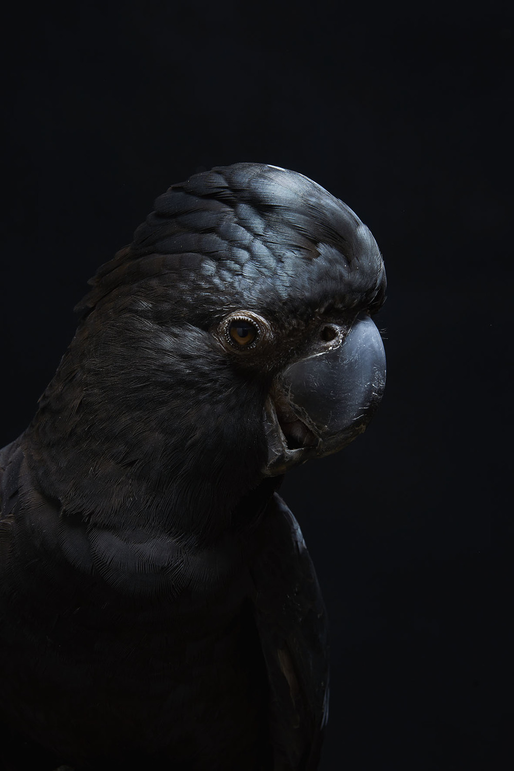 Cockatoo_Redtailed_Black_M_048.jpg