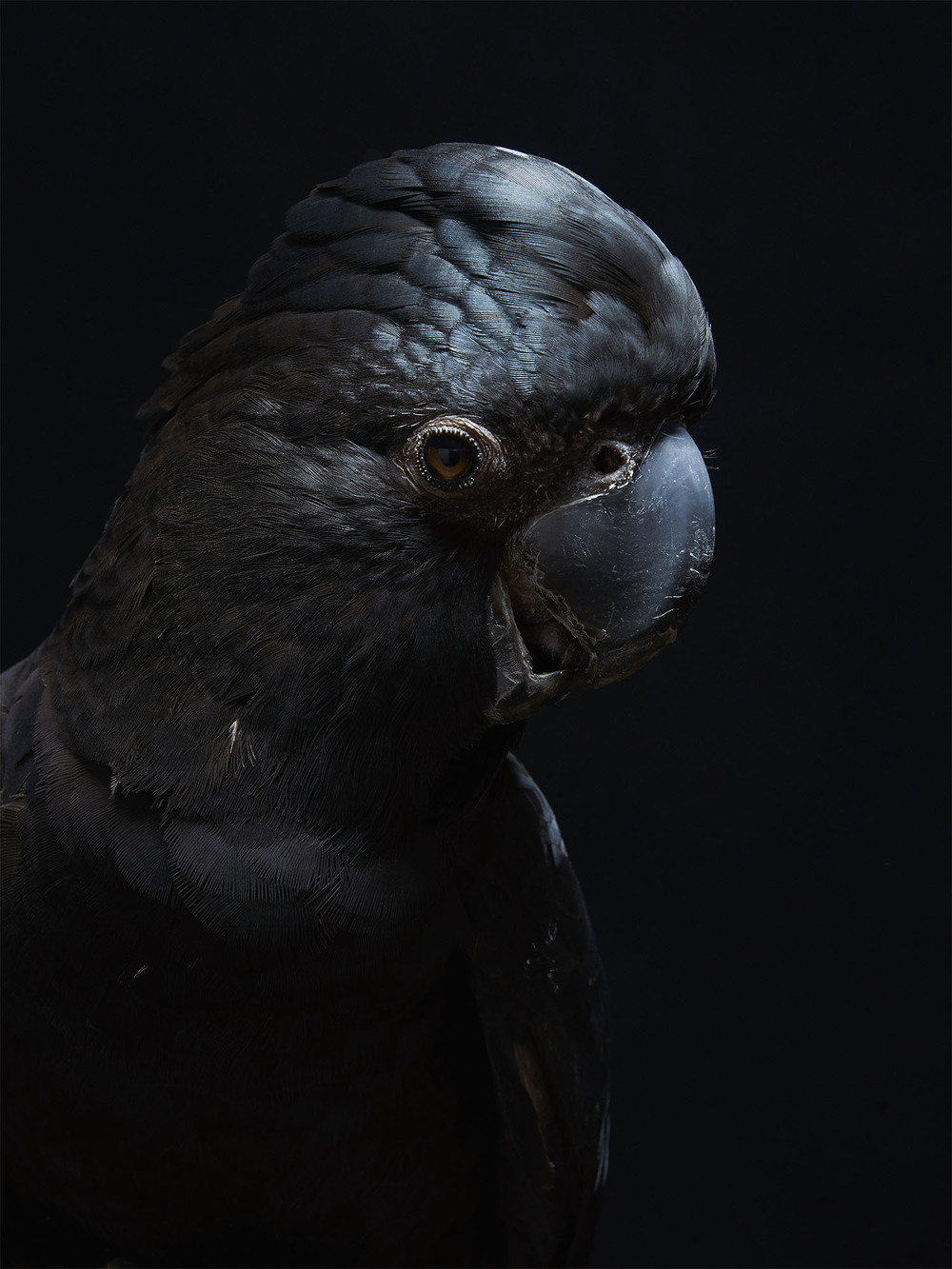 Red-tailed-Black-Cockatoo-Gary-Heery-Bird-Print