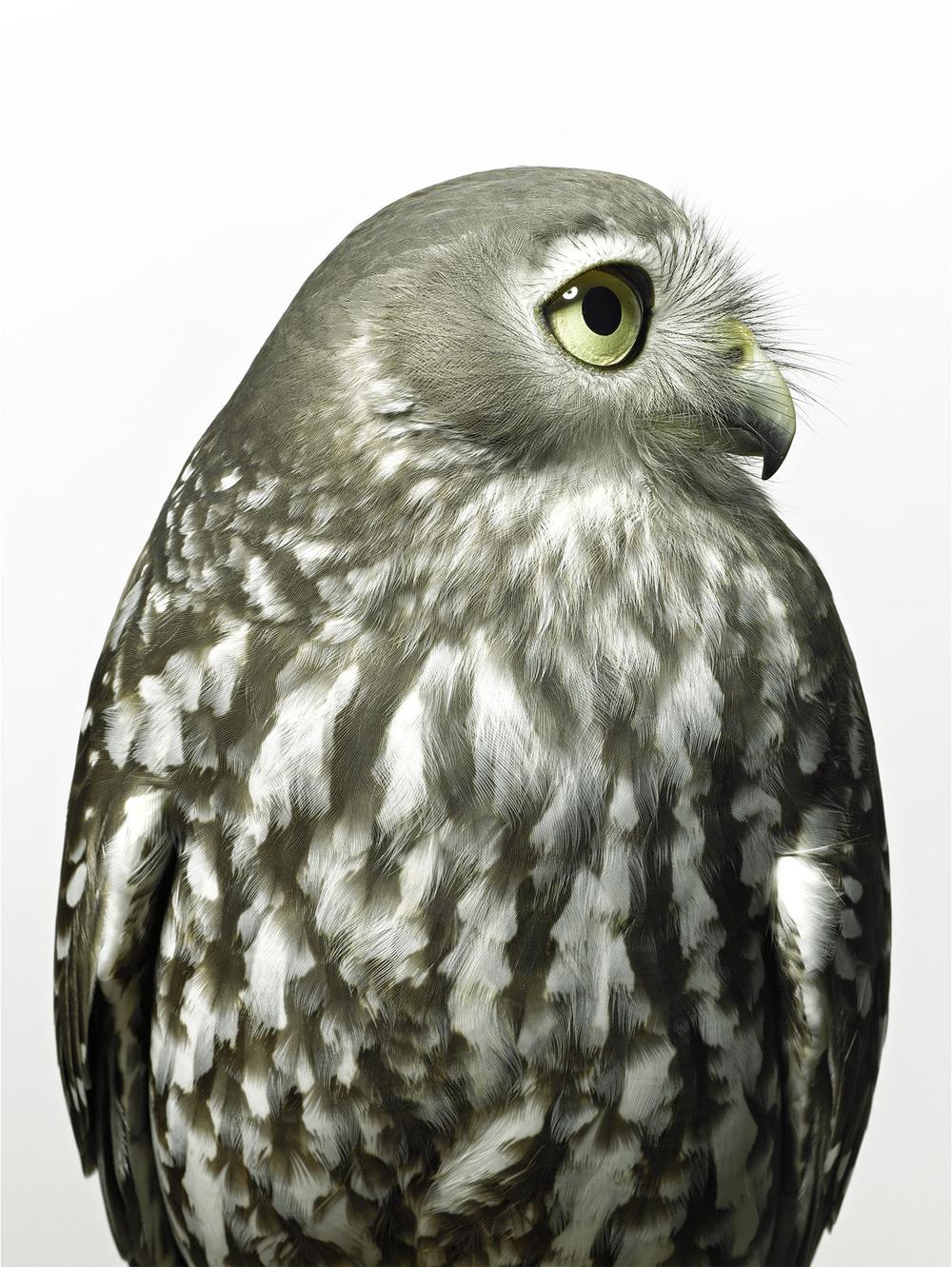 barking-owl-gary-heery-bird-print