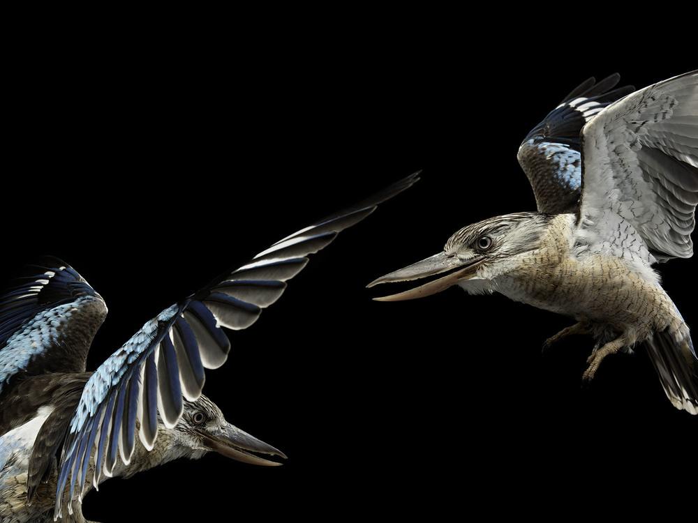 Blue-winged-kookaburras-gary-heery-bird-print