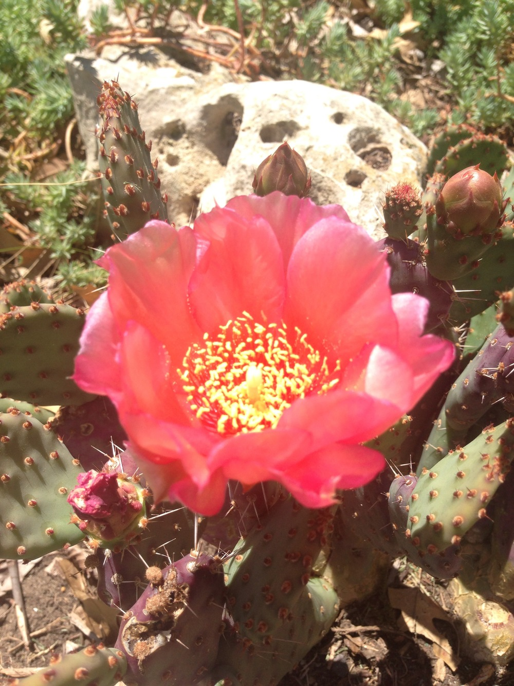 cactus in bloom at the studio