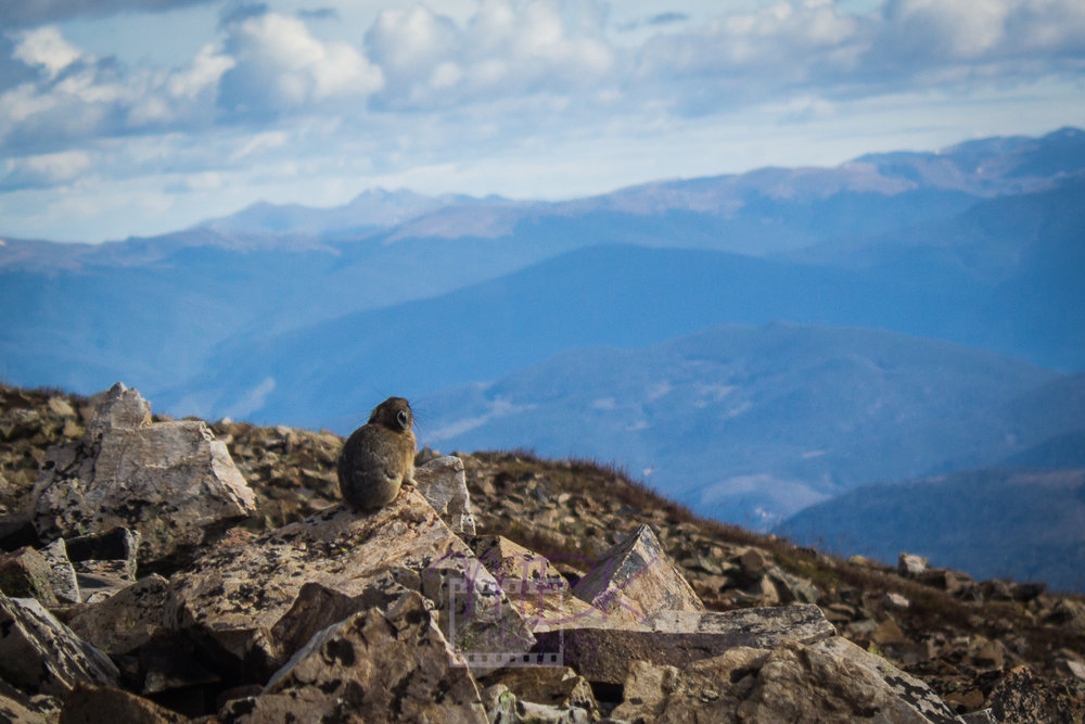 A pika looks out over the landscape. We can only imagine what the little guy is thinking.
