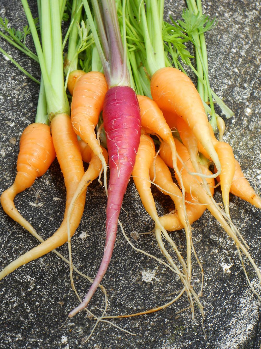 Baby_Carrots_2257.jpg