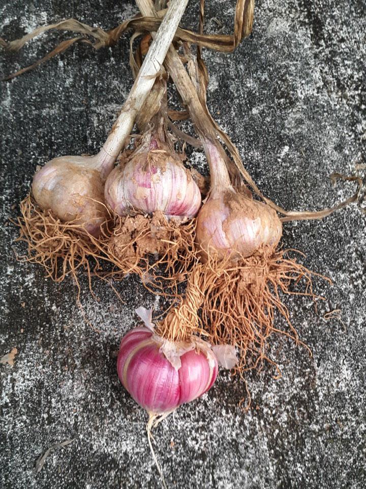 Garlic_June_July.jpg