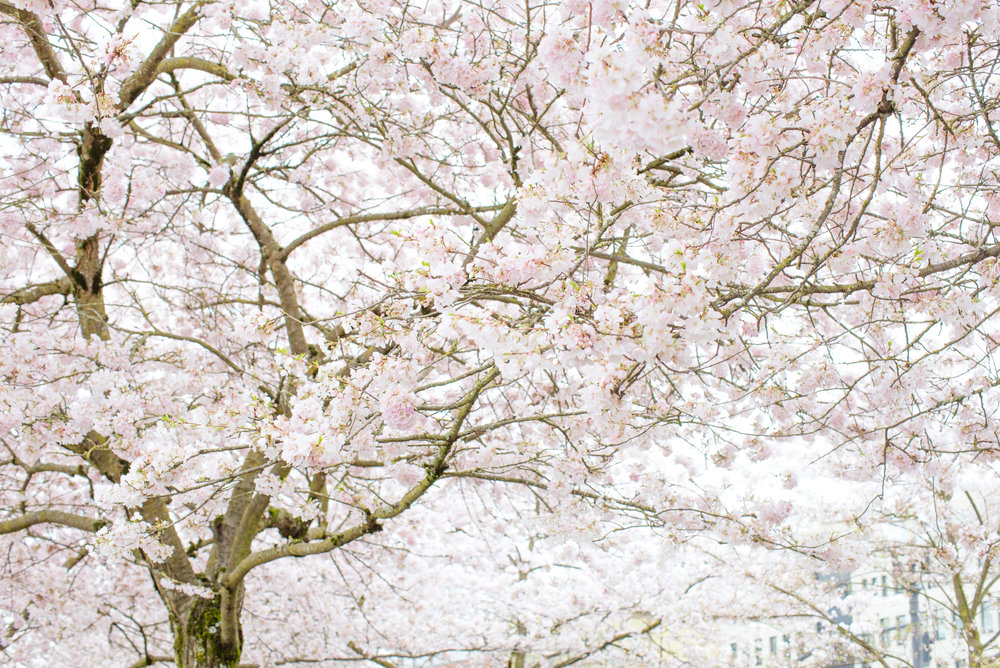 Cherry Blossom Mini-Session with Photographer Brianne of Brightly & Co.
