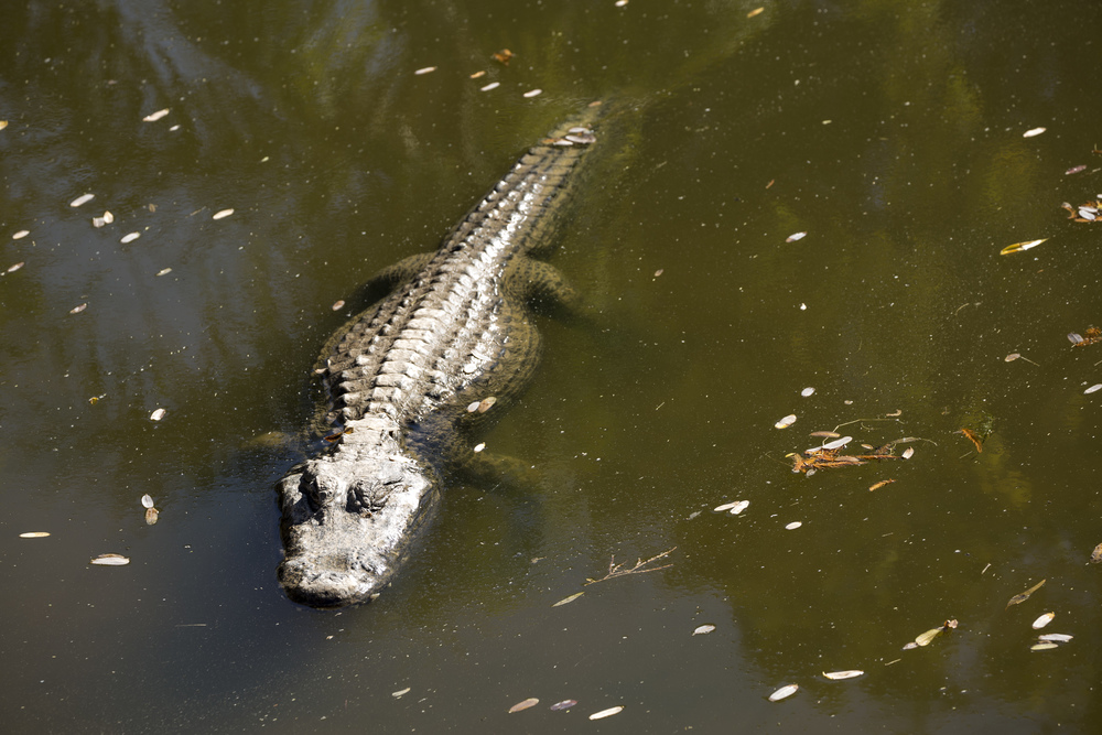 Alligator Sunbathing @  The Phoenix Zoo  |  Canon 5D Mark III w/ 70-300L @ f/8  1/250 & 161  mm