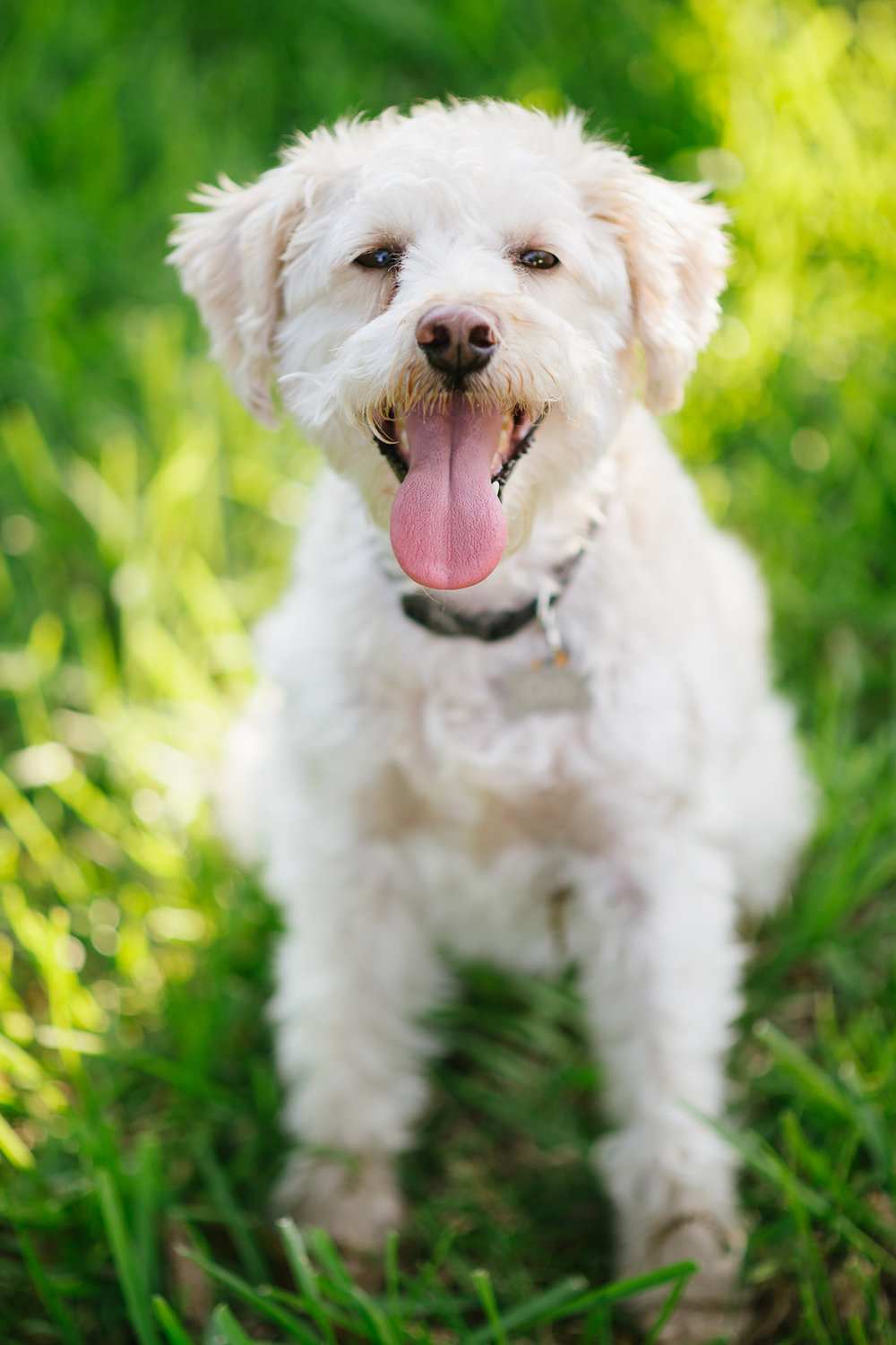 "Cody - poodle/schnauzer mix - aka a ""schnoodle""     A photogenic boy who knows exactly how beautiful he is! Poses every time, how is he even real?"