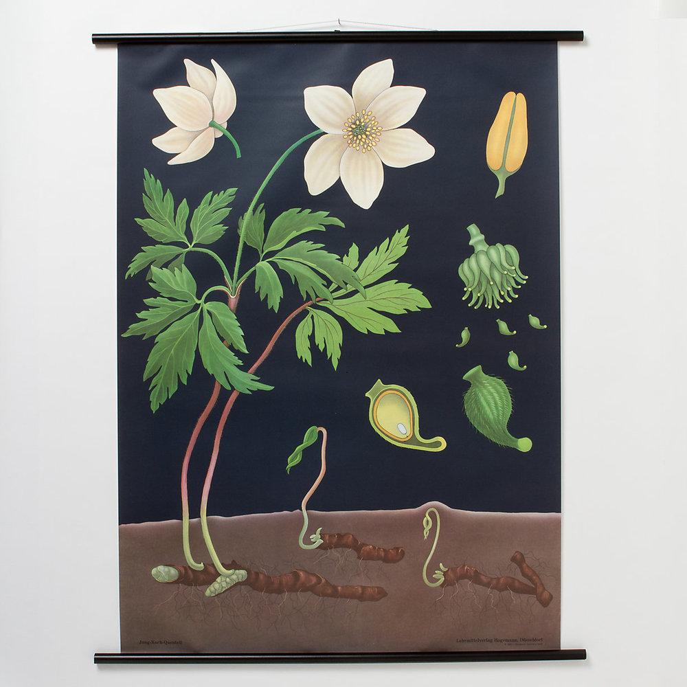 anemone botanical chart