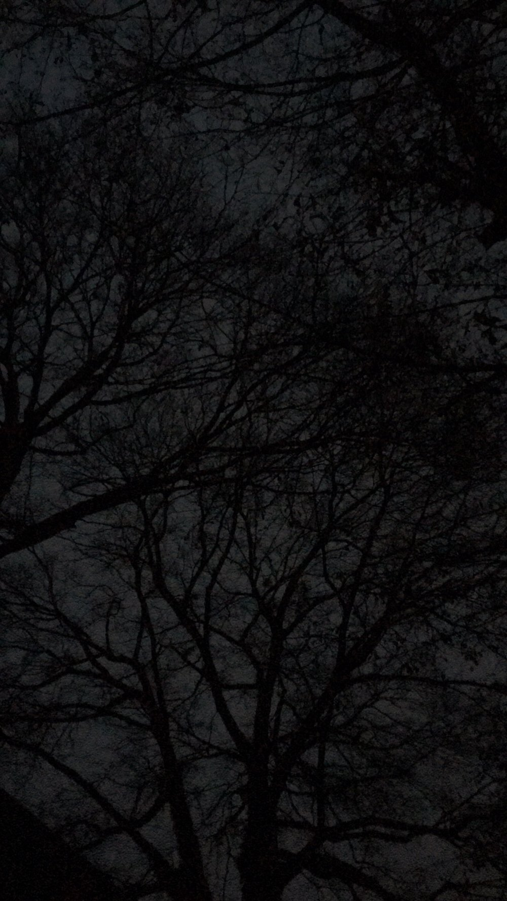 trees at dusk in my backyard