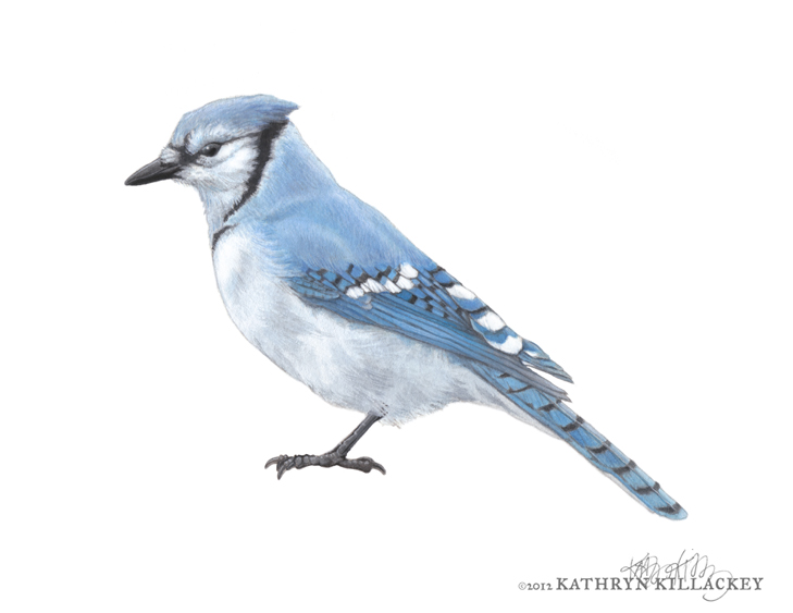 blue_jay_Killackey.jpg